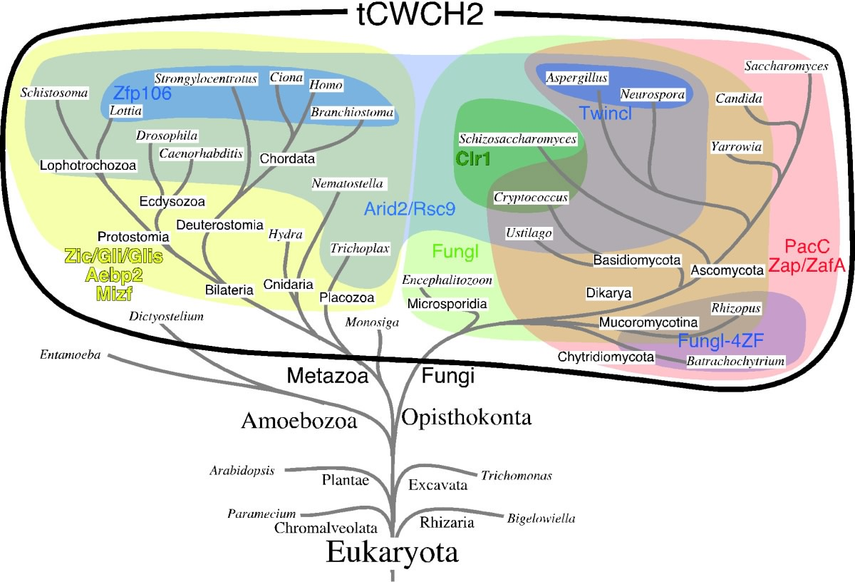 Tcwch2 Hydra Cnidaria Diagram Images Pictures Becuo Phylogeny Of